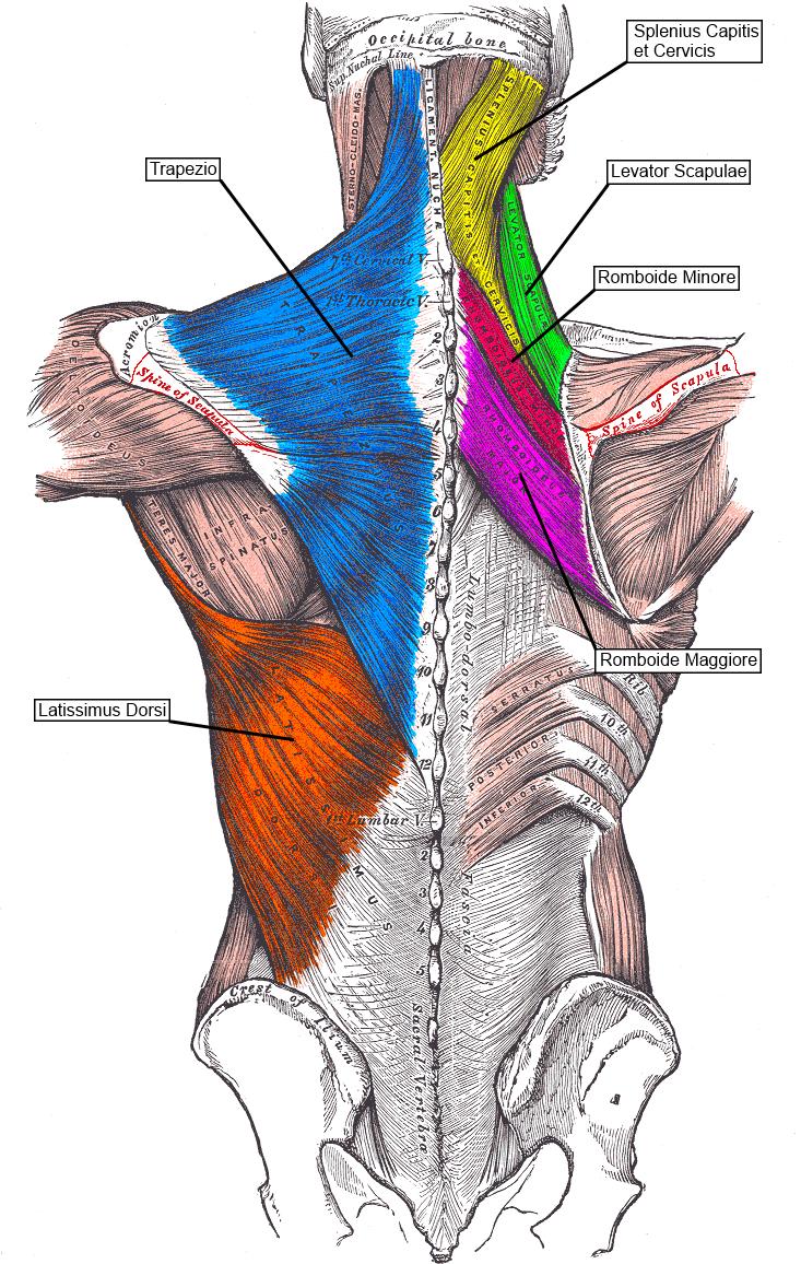muscolisuperficiali.png